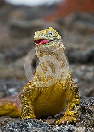 a galapagus iguana